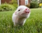 Lần đầu tiên dùng da lợn biến đổi gene cấy ghép cho người