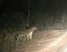 Bác thông tin hổ xuất hiện gần hang động núi lửa ở Đắk Nông