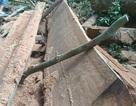 """Vụ phá rừng Mang Yang: """"Phát hiện 2 hộ dân chặt cây về làm nhà"""""""