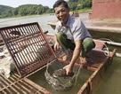 """Nuôi loài cá """"chúa tể dòng sông"""" dân thu hàng trăm triệu đồng/năm"""