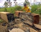 Bắt giám đốc doanh nghiệp trộn gỗ lậu với gỗ hợp pháp để tiêu thụ