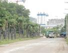 Hàng cây hoa sữa chuyển từ Hồ Tây đến bãi rác Nam Sơn giờ ra sao?
