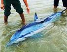 Giải cứu con cá heo 100kg lụy bờ trong tình trạng kiệt sức