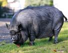 """Giải cứu """"nàng lợn ỉ"""" giống Việt Nam nặng 190kg, có cuộc sống """"sang chảnh"""" ở Anh"""
