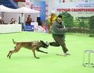 Hơn 200 chú chó quý tộc giá nghìn USD thi tài giành danh hiệu tại Hà Nội