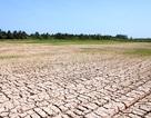 ĐBSCL: Đất nứt nẻ, lúa chết khô do hạn, mặn lịch sử