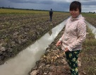 Hàng ngàn cây cam sành của dân bị đối tượng xấu phá hoại