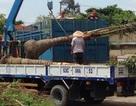 Thương lái thu mua dừa nguyên gốc với giá cao