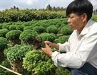 Mất mùa hoa Tết vì thuốc bảo vệ thực vật
