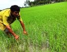 Sản xuất lúa sạch, cơ hội giúp nông dân làm giàu