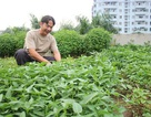 Chi hàng chục triệu làm trang trại trồng rau, nuôi gà trên mái nhà