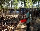 Triển vọng với nghề nuôi vịt trời ở Quảng Nam