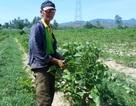 Quảng Nam: Bấp bênh đầu ra nghề trồng dâu nuôi tằm