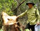 """Vụ phá rừng pơmu: Ai """"bảo kê"""" cho lâm tặc phá rừng?"""