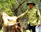 Thủ tướng yêu cầu báo cáo kết quả điều tra, xử lý vụ phá rừng pơmu