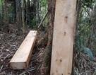 3 đối tượng tham gia phá rừng pơmu ra đầu thú