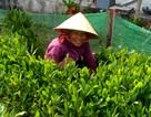 Quảng Nam: Khấm khá nhờ ươm giống cây rừng ở biển