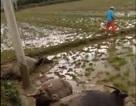 2 con trâu bị điện giật chết khi đi tránh lũ