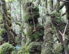 Khám phá rừng đỗ quyên ngàn năm tuổi trên đỉnh Trường Sơn