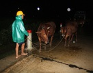 Bơm nước cứu hoa Tết, dắt trâu bò chạy lũ trong đêm