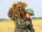 Bộ đội xuống đồng giúp dân gặt lúa chống úng
