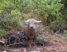 Con trâu thứ 8 trong đàn trâu dữ sa bẫy thợ săn