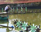 Người nuôi trồng thủy sản khốn đốn vì thua lỗ
