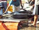 """Hàng loạt chủ tàu câu cá ngừ ở Nam Trung Bộ """"méo mặt"""" vì lỗ nặng"""