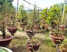 """Thâm nhập những vườn mai """"bạc tỷ"""" ở phố biển Nha Trang"""