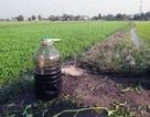 Tưới dầu nhớt cho rau muống để… tăng năng suất!