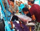 Ngư dân bất ngờ trúng đậm cá ngừ trên biển Trường Sa