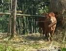 Thanh Hóa: Phát hiện ổ dịch lở mồm long móng trên đàn gia súc