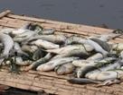 Vụ nước sông đổi màu, cá chết: Hỗ trợ người nuôi cá bị thiệt hại