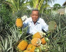 Lão nông trồng khóm (dứa) trên đất phèn thu hàng chục tỷ đồng mỗi năm