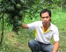 Tốt nghiệp đại học… về quê trồng cam sành thu tiền tỷ