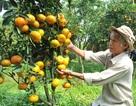 Lão nông thu lãi hàng trăm triệu nhờ trồng quýt hồng trong chậu