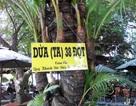Cây dừa ta 38 đọt duy nhất ở miền Tây