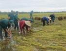 Bộ đội hối hả giúp dân gặt lúa chạy lụt