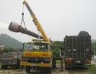 Thương lái lén lút mua cây thốt nốt bán sang Trung Quốc