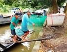 Lũ nhỏ, sản lượng cá trắng ở nông trường Sông Hậu giảm một nửa