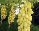 Cận cảnh vườn đu đủ vàng trăm triệu ở miền Tây