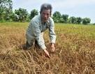 Hơn 1.000 ha lúa chết khô, dân bỏ ruộng tha phương mưu sinh