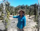 Những vườn tiêu Phú Quốc sắp chết khô vì hạn hán lịch sử
