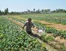 """Nông dân """"bắt"""" vùng đất mặn cho thu nhập 100 triệu đồng/ha"""