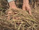 """Tiền hỗ trợ hạn, mặn cho nông dân bị cán bộ """"chặn"""""""