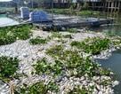 Công  bố 4 nguyên nhân khiến hơn 1.000 tấn cá chết trên sông Cái Vừng