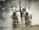 Lễ hội đua bò Bảy Núi dần tìm về nét đẹp dân gian