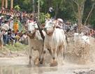 An Giang: Sôi nổi Lễ Hội đua bò chùa Rô