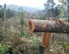 """Gần 10ha rừng bị phá, lực lượng quản lý """"không hề biết""""?"""