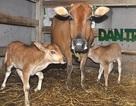 Hy hữu con bò 2 lần sinh đôi liên tiếp